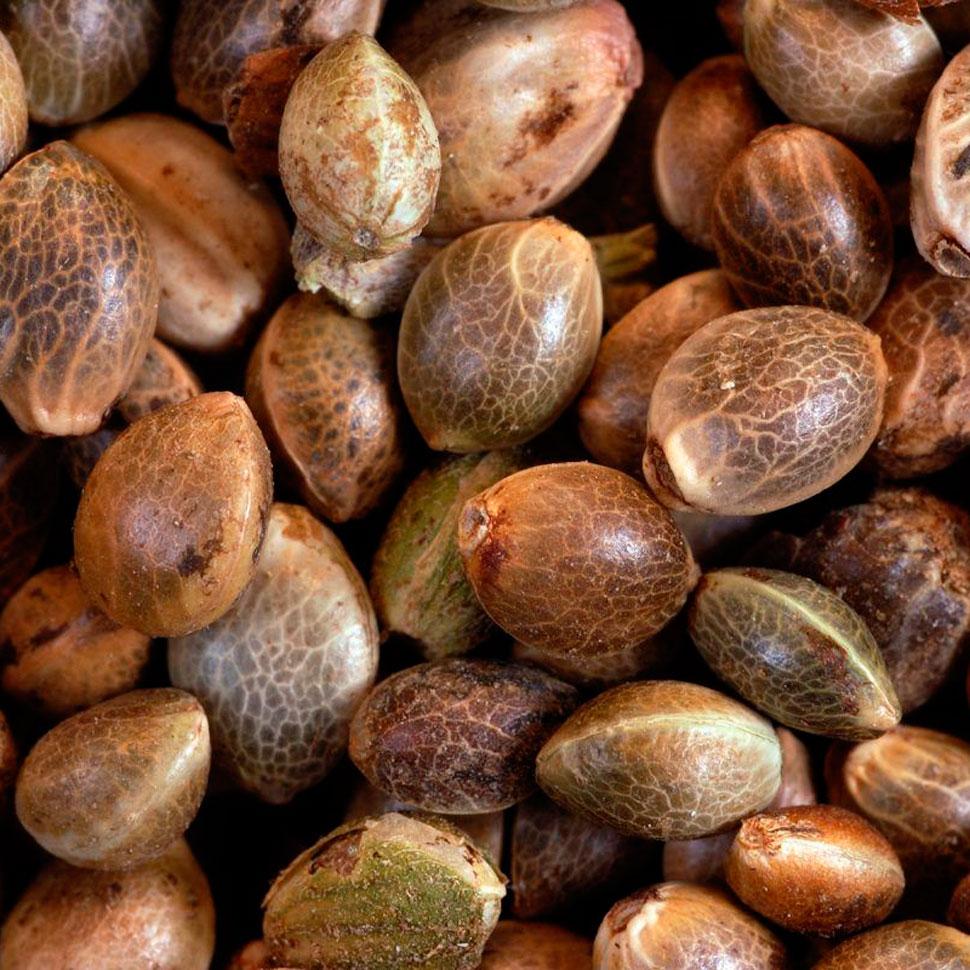 Конопляные семена для посадки варить молоко марихуаны
