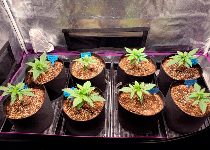 как освещать росток конопли