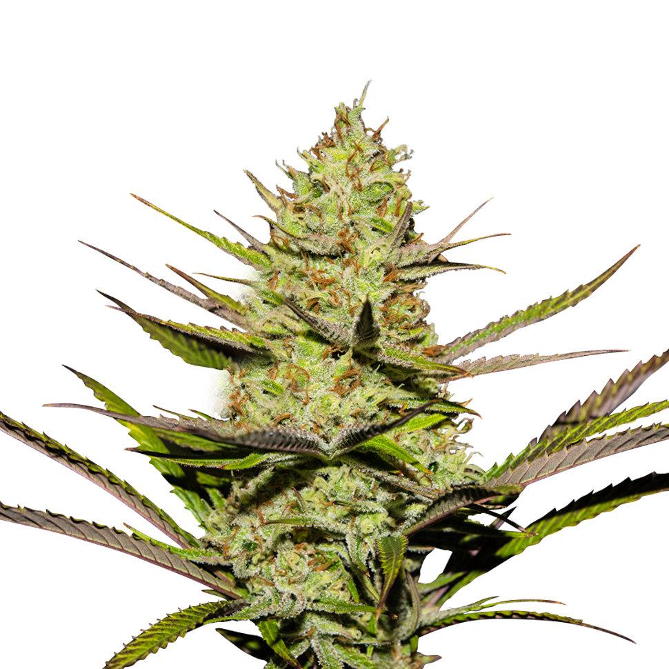 Где лучше заказывать семена конопли конопля и марихуана это одно и тоже