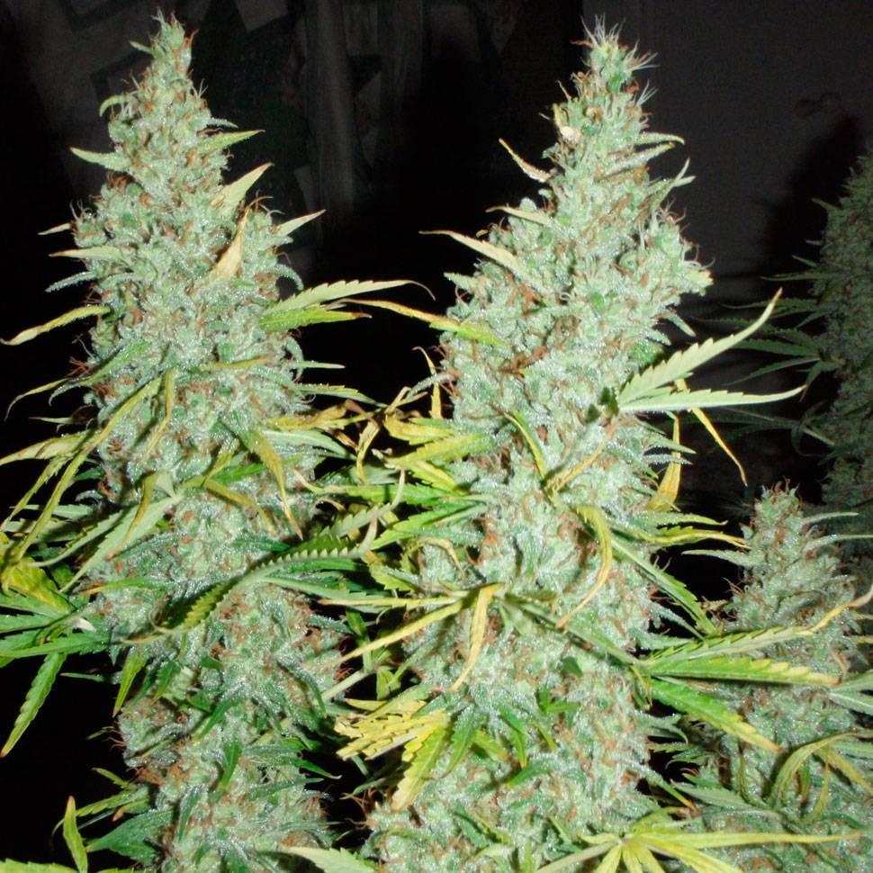 Шишки от конопли картинки при каких заболеваниях назначают марихуану